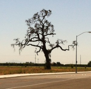 One of my most favorite trees here in Lodi, CA. It's on Century and Lower Sacramento Rd.